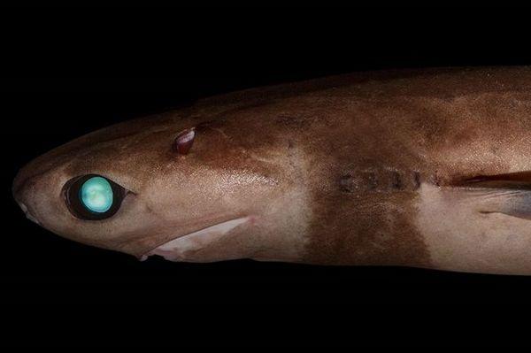 Светлечка ајкула