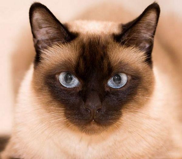 Тайландски - традиционна сиамска котка