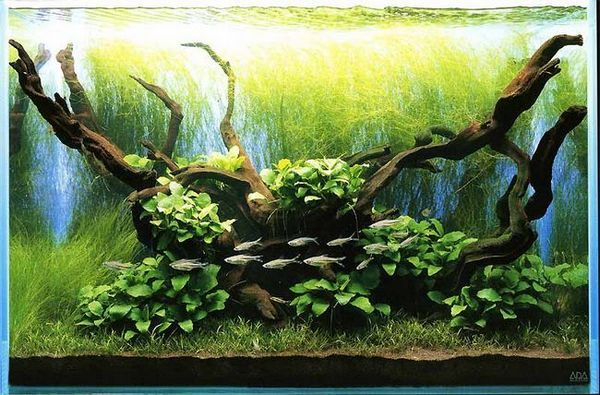 Takashi Amano Aquarium with Anubias