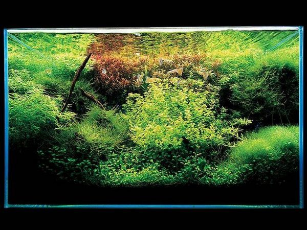 Takashi Amano Aquarium with Rotala