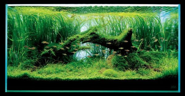 Takashi Amano Aquarium with Wallisneria