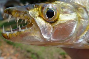 goliath тигарска риба