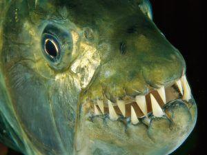 Риба од тигар Голијат