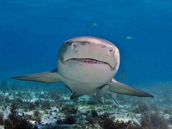 ајкула од лимон