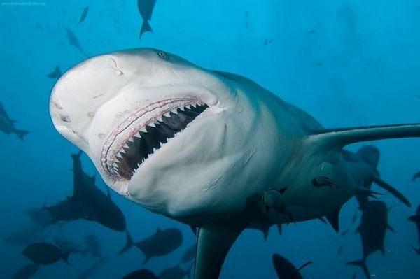 живеалиште на ајкули