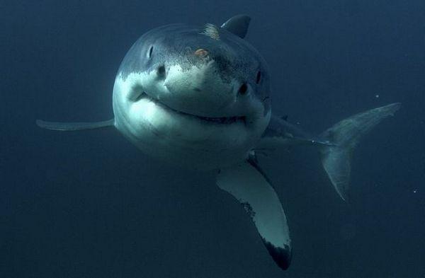 Голема бела ајкула