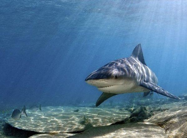 глупава ајкула