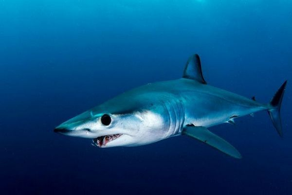 мако ајкула