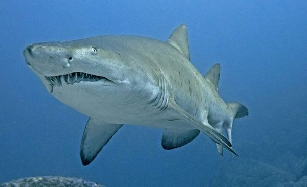 ајкули од песок