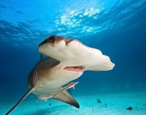 чекан од ајкули