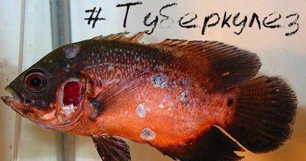 Туберкульоз мікобактеріоз риб фото