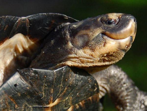 Грижете се за блатната костенурка у дома