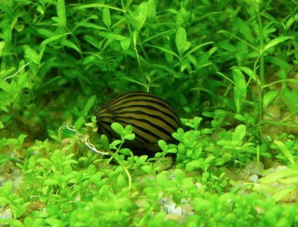 Neretina šnek - krása a čistota v akváriu