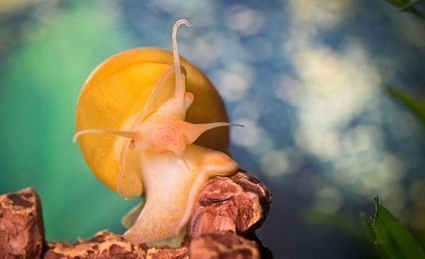 Cechy hodowlane ślimaka Ampularia