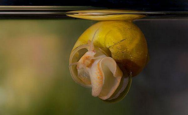 Hodowla ślimaków Ampularia