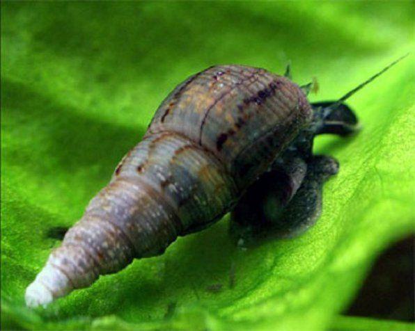 Melania ślimak