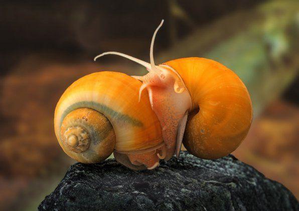 Ampułka ze ślimakiem