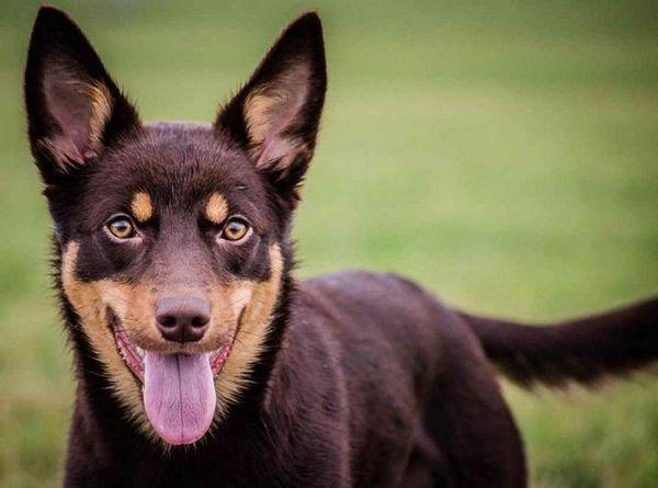Universal shepherd - австралийска порода кучета kelpie