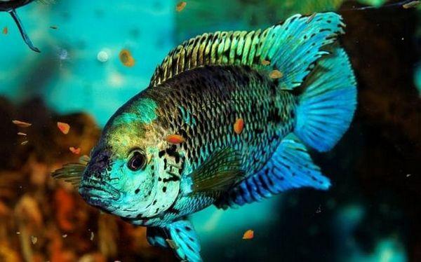 modrá dempsey ve vodě