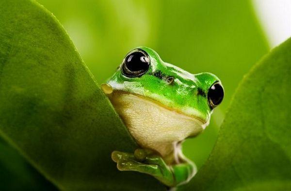 У пошуках відповіді: жаба - це земноводне або плазун?