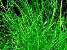 Vallisneria nana lub wąskolistna (vallisneria nana)