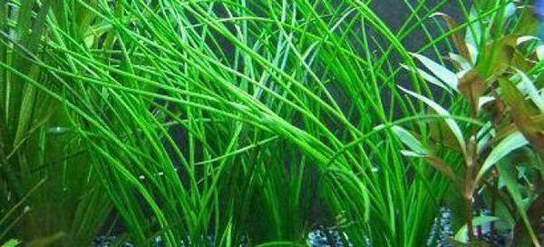 Spirala vallisneria i 6 najpopularniejszych rodzajów roślin akwariowych