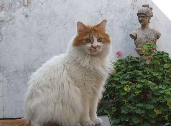 Ван - котка от турската порода