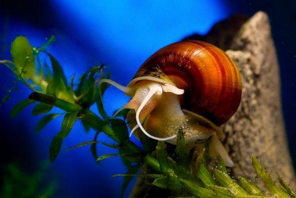 Види акваріумних равликів