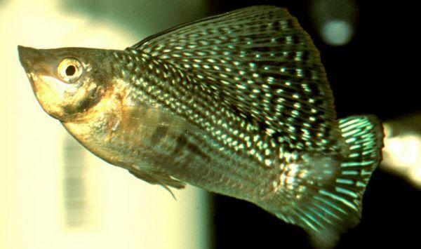 Види і назви акваріумних моллинезий