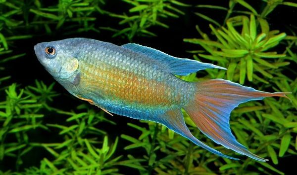 Види лабіринтових рибок для домашнього акваріума