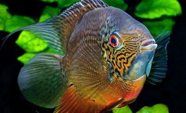 Види северум, його зміст і розведення в акваріумних умовах