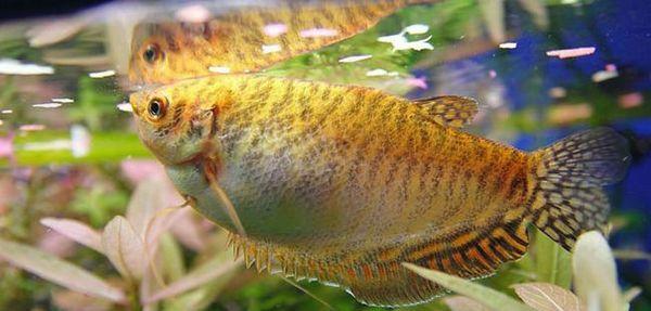 Види живонароджених акваріумних рибок гурамі і догляд за ними