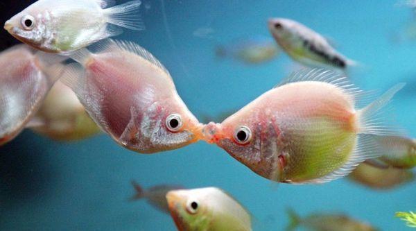 Пољуби гурами.