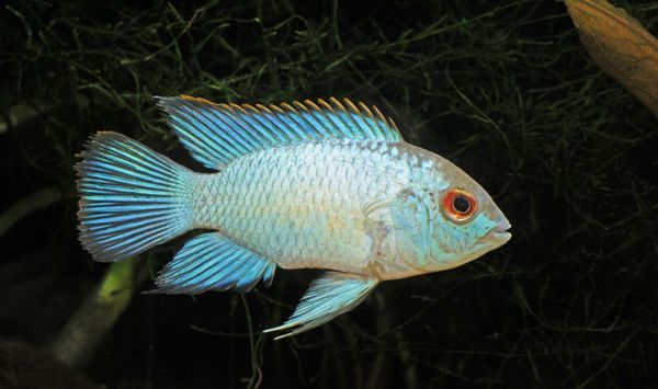 Blue Akara.