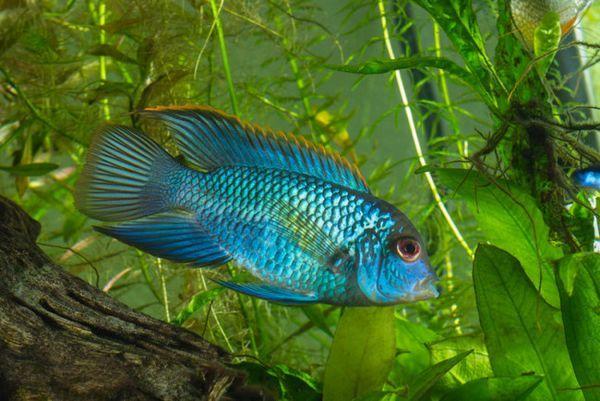Acara jest niebieskawo-plamista.