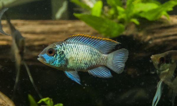 Błękitna Akara w akwarium.