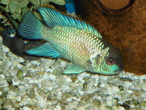 Ryby akwariowe to gatunek ryb płetwiastych.