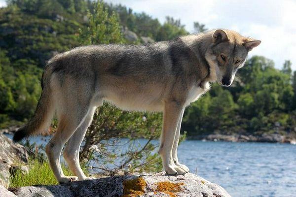 Куче вълк сарлос