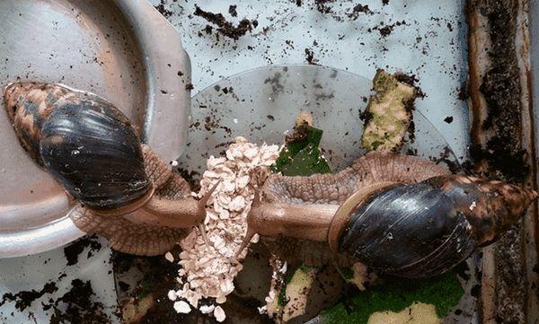 Achatina mănâncă fulgi de ovăz