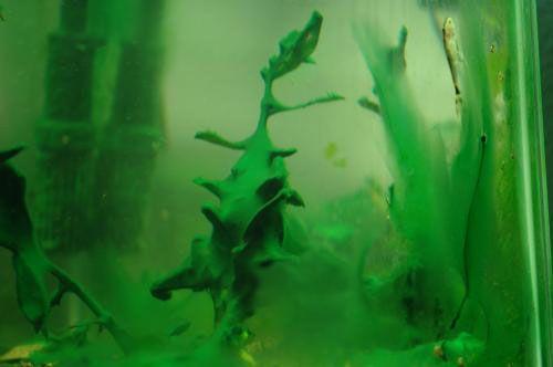 Modrozelená (cyanobakterie) fotografie NA AKVARII