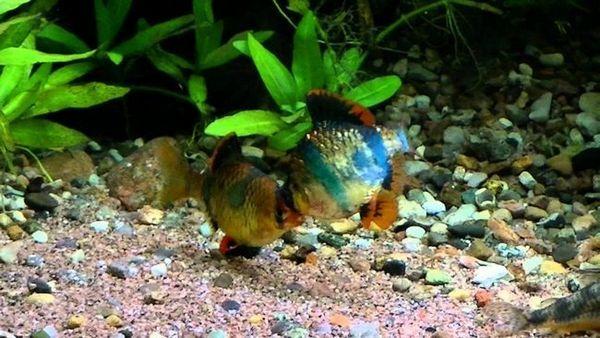 akvarijske šipke
