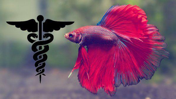 Хвороби і лікування рибок півників фото