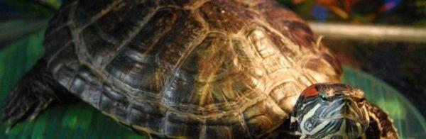 Заболявания на червенокосите костенурки: профилактика, лечение, симптоми, снимки, видео.
