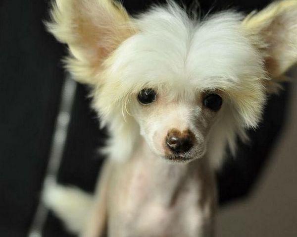Мистериозен чужденец - китайско чучело куче