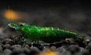 Zielone krewetki neokarydynowe
