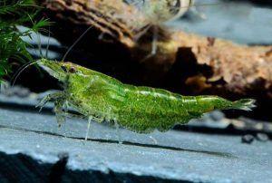 Smaragdové krevety