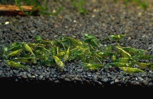 Zielone krewetki