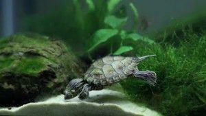 živé rostliny v akváriu s želvou